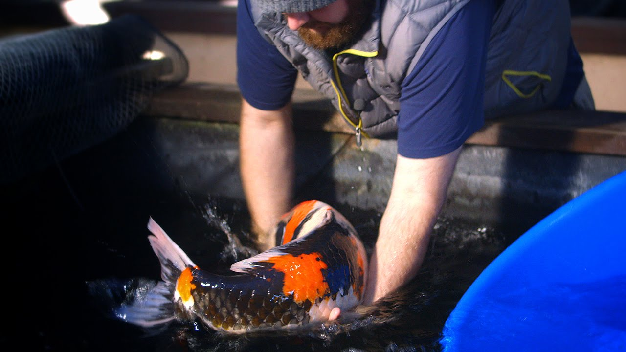 Koi Collecting in Japan - 2 of 7 - YouTube
