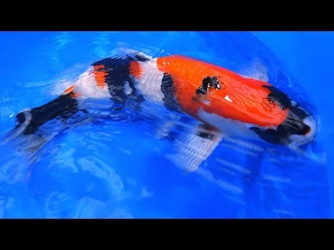 Quality Japanese Koi | Showa Varieties - Old Style vs New Style Koi - Part 3