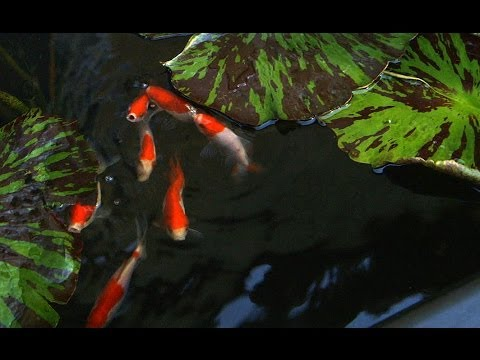 Patio Pond with Bog Filter | Adding Goldfish to the Pond - Part 12